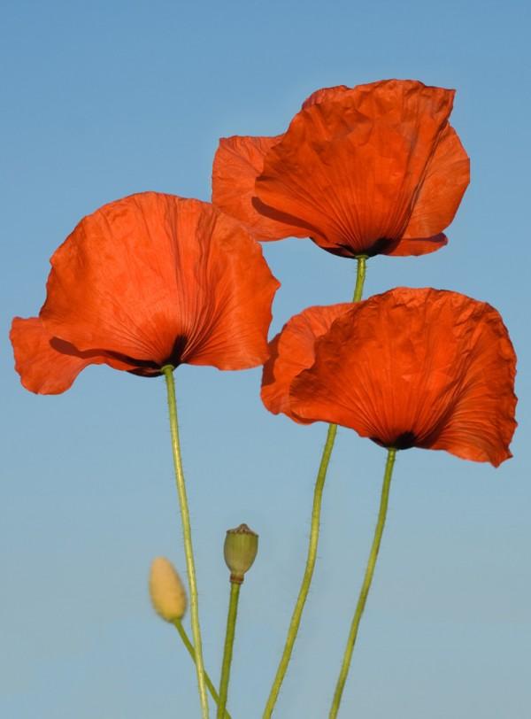 Imagen de amapolas, de las que se extraen las semillas para la elaboración de nuestros jabones artesanales.