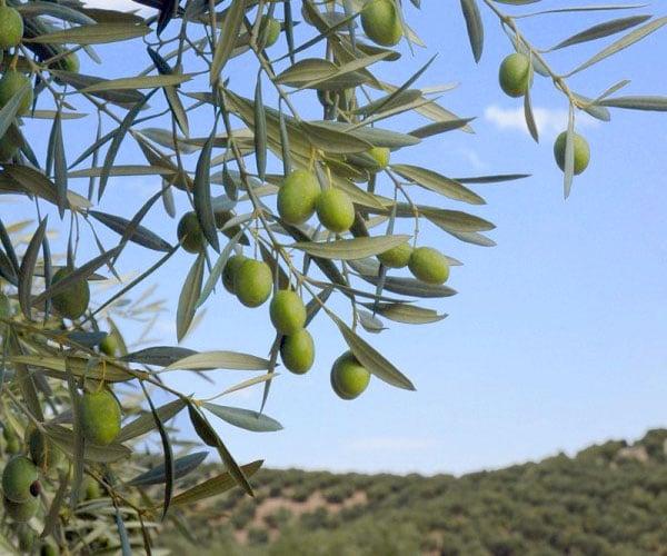 El aceite de oliva en la cosmética natural